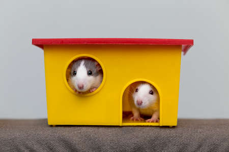 Two funny white and gray tame curious mouses hamsters with shiny eyes looking from bright yellow cage window. Keeping pet friends at home, care and love to animals concept. Imagens