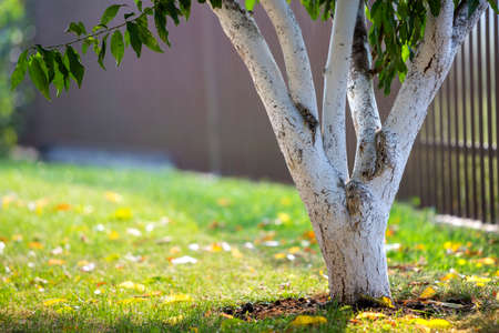 Whitewashed bark of tree growing in sunny orchard garden on blurred green copy space background. Reklamní fotografie