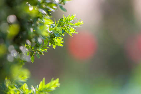 Bright fresh green decorative boxwood bush brunch on blurred colorful copy space background. Gardening art and agriculture concept.