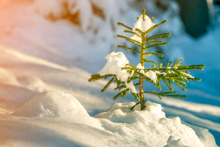Young tender spruce tree with green needles covered with deep snow and hoarfrost on bright colorful . Merry Christmas and Happy New Year greeting card.