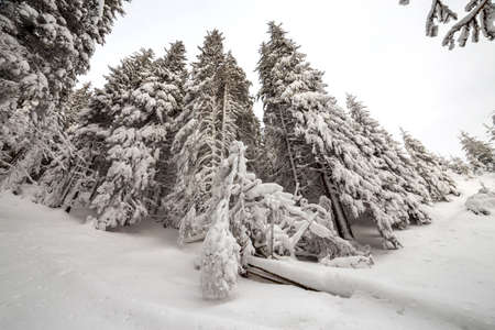 Beautiful winter picture. Tall spruce trees covered with deep snow and frost on clear sky background. Happy New Year and Merry Christmas greeting card.