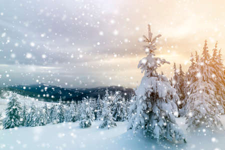 Winter blue landscape. Spruce tree in deep snow on mountain clearing on cold sunny day on copy space background of cloudy sky. Фото со стока