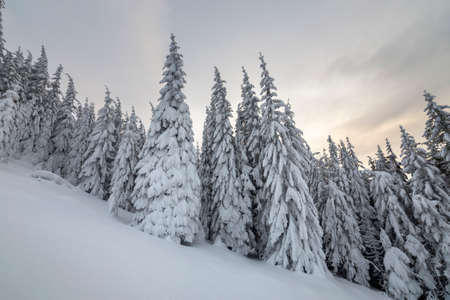 Beautiful winter mountain landscape. Tall spruce trees covered with snow in winter forest and cloudy sky background.