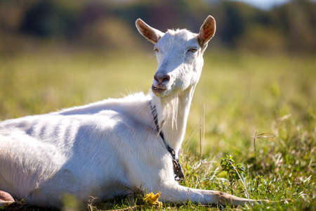 Portrait of white goat with beard on blurred bokeh background. Farming of useful animals concept.