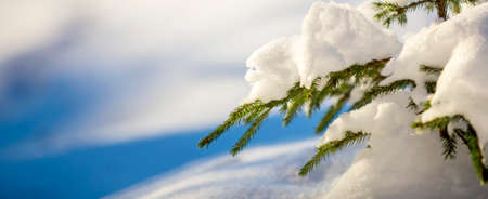 Young tender spruce tree brunches with green needles covered with deep snow and hoarfrost on bright blue and white colorful copy space background. Merry Christmas and Happy New Year greeting card.