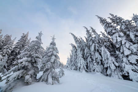 Beautiful winter landscape. Dense mountain forest with tall dark green spruce trees, path in white clean deep snow on bright frosty winter day.