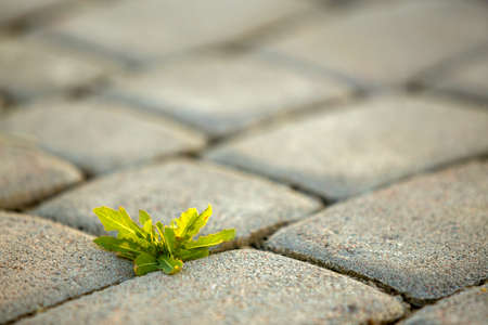 Weed plants growing between concrete pavement bricks. 版權商用圖片