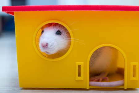 White funny domestic pet rat and a toy house.