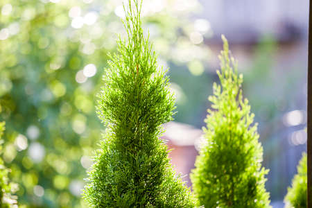 Closeup of green christmas leaves of thuja tree on green bokeh background. Twig of occidentalis  evergreen coniferous bush, also known as Chinese thuja.