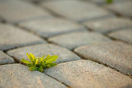 Weed plants growing between concrete pavement bricks. Stockfoto