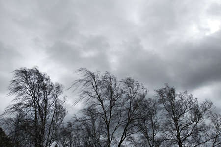 Black trees with branches without leaves bent under strong wind in bad cold weather.
