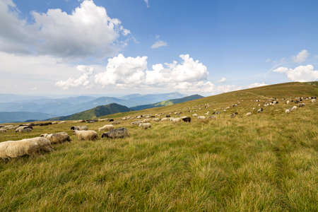 Herd of farm sheep grazing on green mountain pasture. 免版税图像