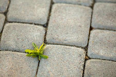 Weed plants growing between concrete pavement bricks. Stok Fotoğraf
