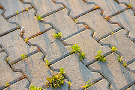 Weed plants growing between concrete pavement bricks. Stock Photo
