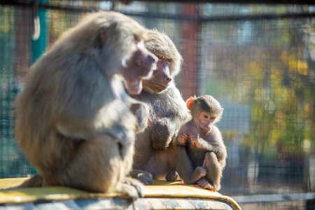 Baboon monkeys in a zoo on sunny day. Stockfoto