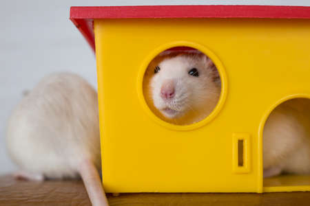 Two funny domestic pet rats and a toy house.