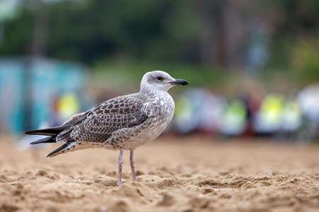 White and gray seagull bird on sand beach shore. Imagens