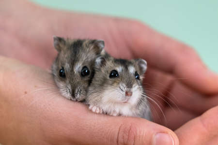 Closeup of two small funny miniature jungar hamsters sitting on a woman's hands. Fluffy and cute Dzhungar rats at home.
