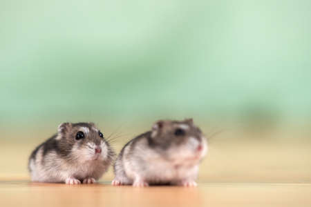 Closeup of two small funny miniature jungar hamsters sitting on a floor. Fluffy and cute Dzhungar rats at home.