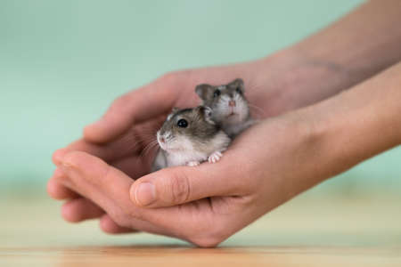 Closeup of two small funny miniature jungar hamsters sitting on a womans hands. Fluffy and cute Dzhungar rats at home.