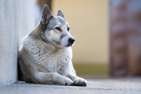 Portrait of a dog breed West Siberian Laika sitting outdoors in a yard.