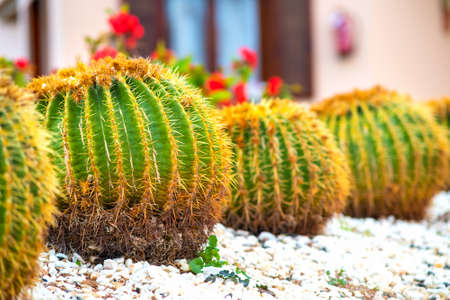 Green round tropical cactus plants with sharp spines growing on a ground covered with pebble stones outdoors in a park.