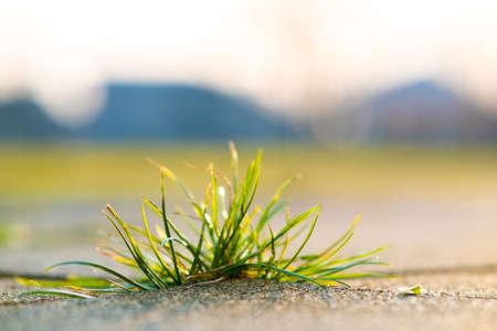 Closeup detail of weed green plant growing between concrete pavement bricks in summer yard. Foto de archivo