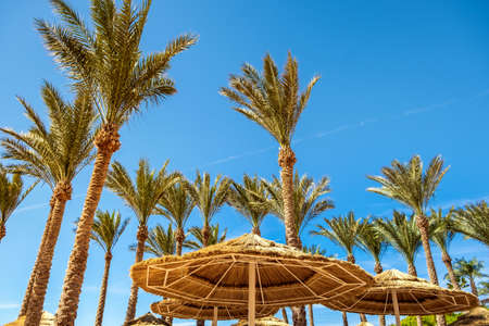 Straw shade umbrellas and fresh green palm trees in tropical region against blue vibrant sky in summer.