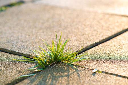 Closeup detail of weed green plant growing between concrete pavement bricks in summer yard. Stockfoto