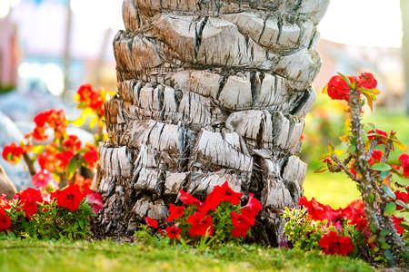 Close up of a big trunk of old palm tree growing on green grass lawn with red flowers around.