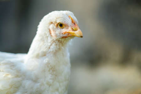 Close up of white chicken sitting on barn yard with green grass. 스톡 콘텐츠