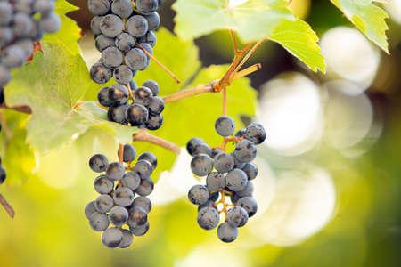 Clopse up of ripening grape fruit on vine branches in summer garden. Stock fotó