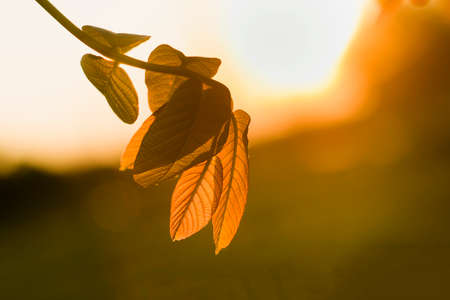 Close-up of lit by sun tree brunch with big dark shiny green leaves on blurred misty background. Beauty of nature concept.