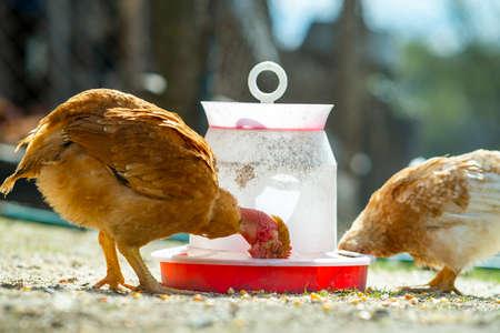 Close up of chicken standing on barn yard with bird feeder.