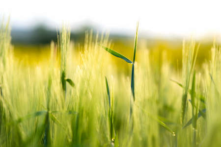Close up detail of green wheat heads growing in agricultural field in spring.