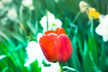 Bright red tulip on high stem growing in flower bed on blurred background of white daffodils on sunny spring day. Gardening and decoration concept.