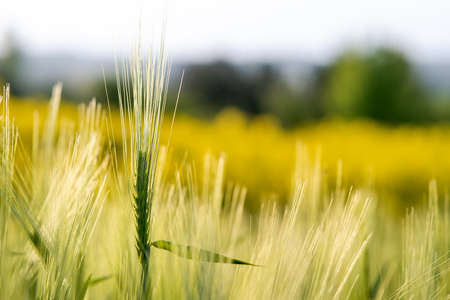 Close up of green wheat heads growing in agricultural field in spring.