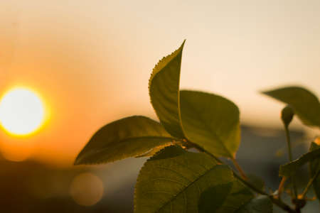 Close-up of growing apple tree brunch with dark shiny green leaves on blurred bokeh background of bright white sun and soft golden sky at sunset. Beauty of nature concept. Stock fotó