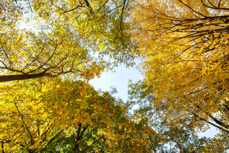 Perspective up view of autumn forest with bright orange and yellow leaves. Dense woods with thick canopies in sunny fall weather.