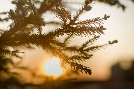 Close-up of spruce tree brunch with big dark green needles on blurred colorful background at sunset. Beauty of nature concept. Stock fotó - 151145928