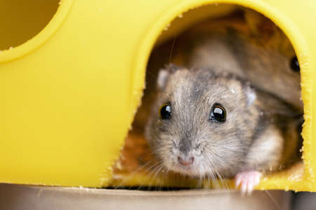 Small gray jungar hamster rat in yellow home cage.