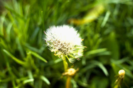 Close-up of isolated dandelion with white puffy seeds growing and blooming in green grassy field outdoors on sunny day. Beauty of nature concept. 스톡 콘텐츠