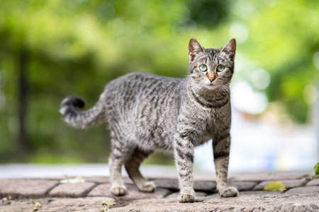 Cute gray striped cat standing outdoors looking in camera on summer street. Banque d'images