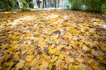 Close up of many fallen yellow leaves covering the ground in autumn park.