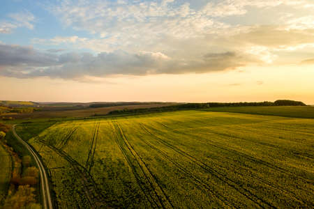 Aerial view of bright green agricultural farm field with growing rapeseed plants and cross country dirt road at sunset. Stock Photo