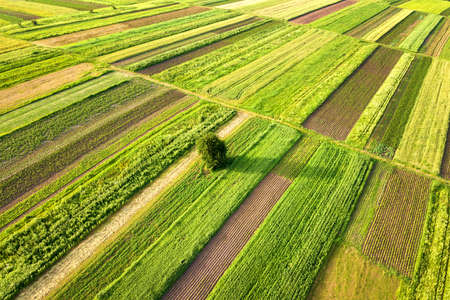 Aerial view of a single tree growing lonely on green agricultural fields in spring with fresh vegetation after seeding season on a warm sunny day.