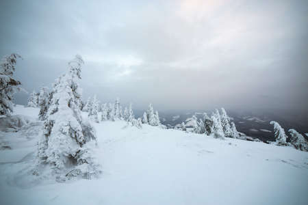 Moody winter landscape of spruce trees cowered with deep white snow in cold frozen mountains.