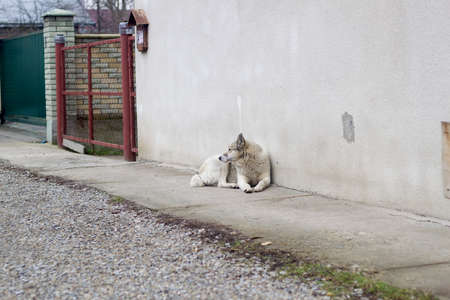 Big white adult clever dog breed West Siberian Laika sitting outdoors guarding house. Stockfoto