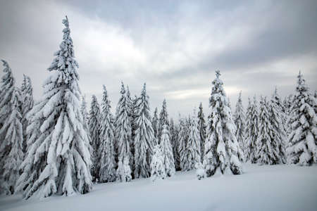 Moody winter landscape with tall spruce forest cowered with white snow in frozen mountains. Archivio Fotografico