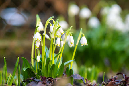 Close up view of small snowdrops flowers growing among dry leaves in forest. First spring plants in woods.